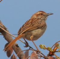 Tinkling Cisticola occurs in the de Tweedespruit area